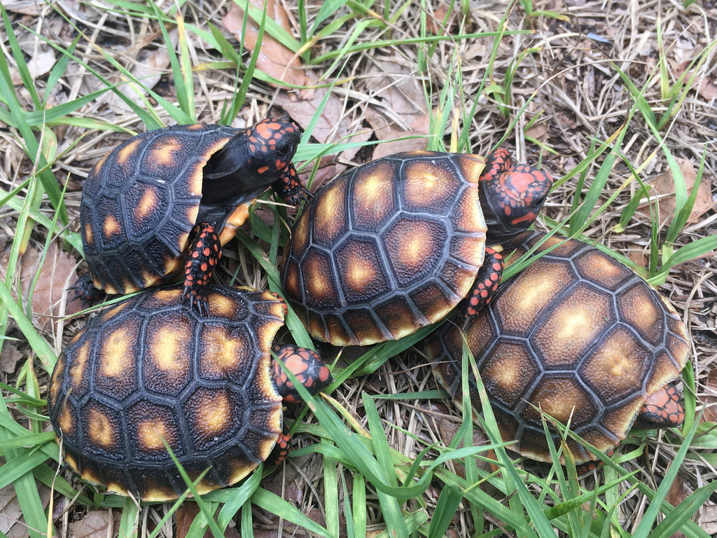 Red Foot Tortoise Babies