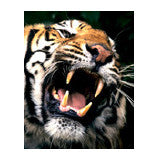 Growling Tiger waterslide nail decal