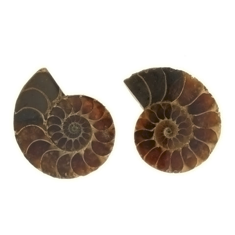 SPECIMEN NATURAL AMMONITE FOSSIL (1 PR)