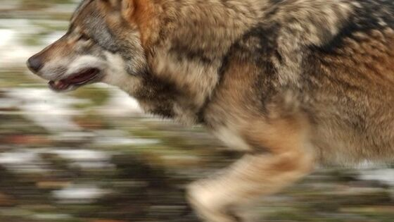 Loup Gris qui Chasse