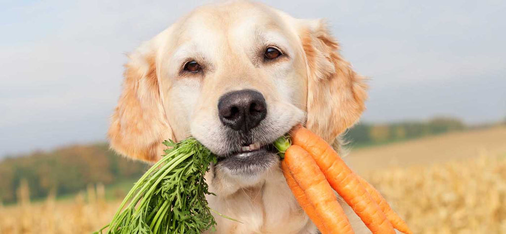 dogs holding carrots in mouth