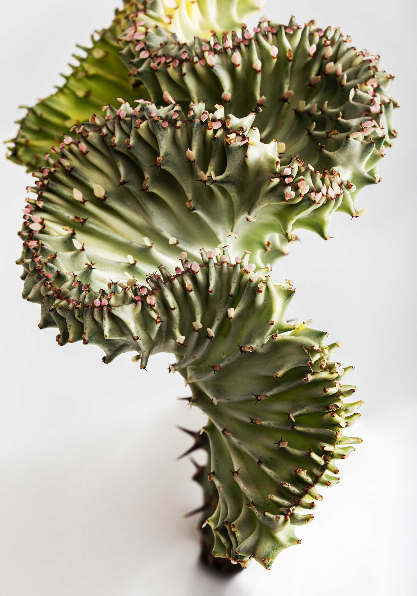 Perspektive of the twisted cactus