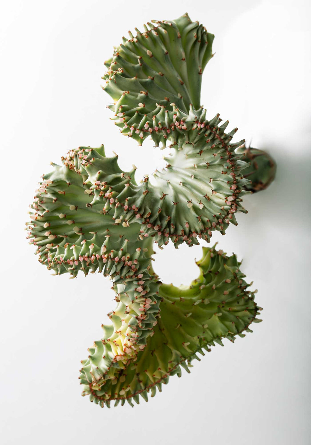 Twisted Cactus