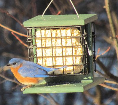 Green double sided suet feeder with platform