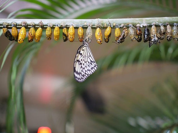 a row of chrysalises with an emerged butterfly on one and others in the process of emerging