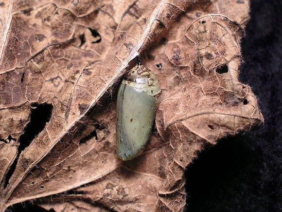 chrysalis of a monarch butterfly hanging from brown leaf