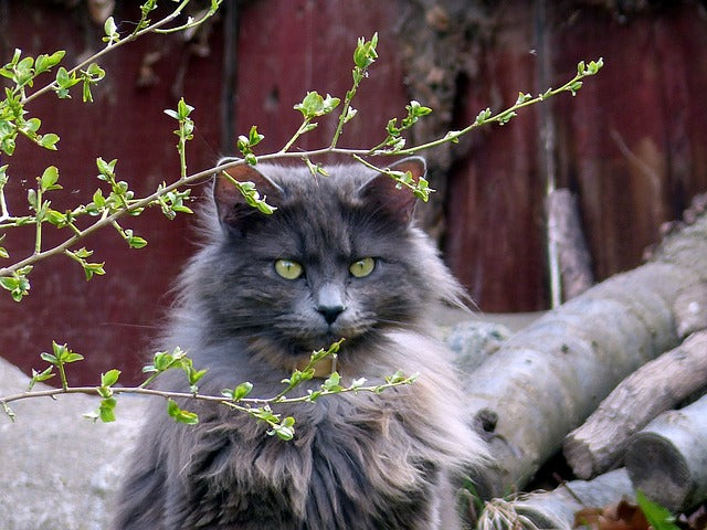 a long haired cat with some clumps of shedding fur in an outdoor setting