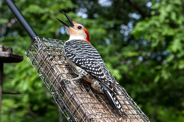 woodpecker perched on a suet block