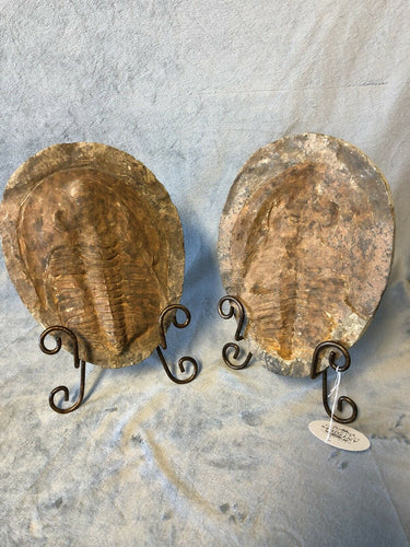 "Large Trilobite Fossil With Stands Both Positive & Trace Halves 10.24""x7.5"""