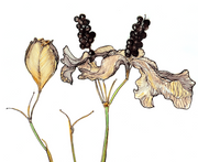 Blackberry Lily : Prints