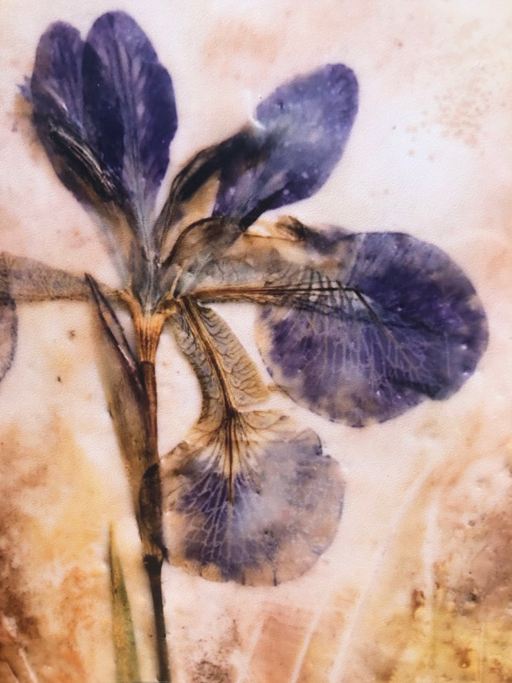 Pressed Purple Iris : Prints