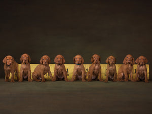 36 feet of vizsla Puppies  - Jason Allison Photography