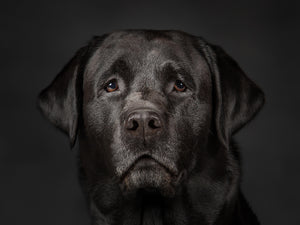 Labrador has human eyes - Jason Allison Photography