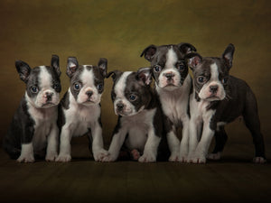 French bull dog puppies  - Jason Allison Photography
