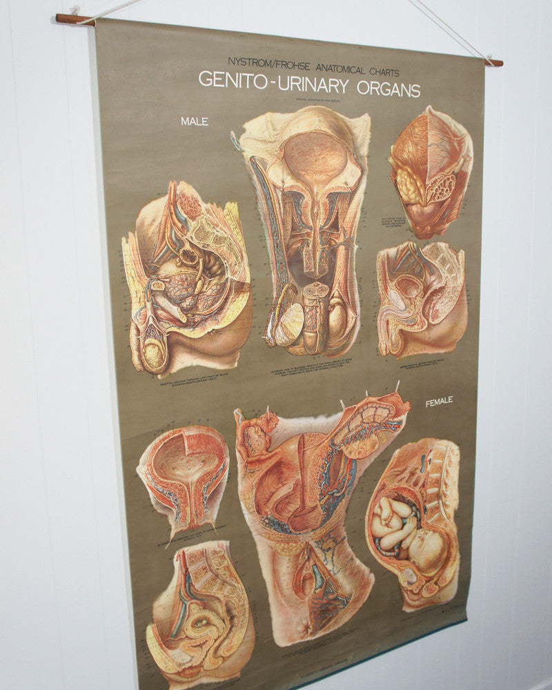 Vintage 1950\'s Frohse Genito-Urinary Organs Human Anatomy Wall Chart ...