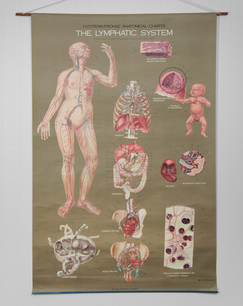 1950's Frohse Lymphatic System Anatomy Wall Chart