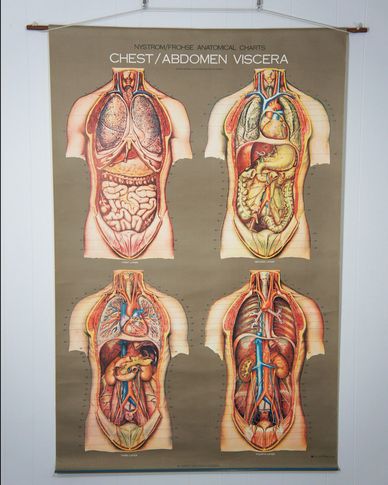 Vintage 1950s Frohse Chest Abdomen Viscera Human Anatomy Wall
