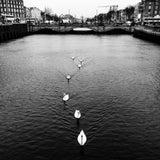 Swans on the Liffey