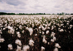 Bog cotton, Co.offaly.