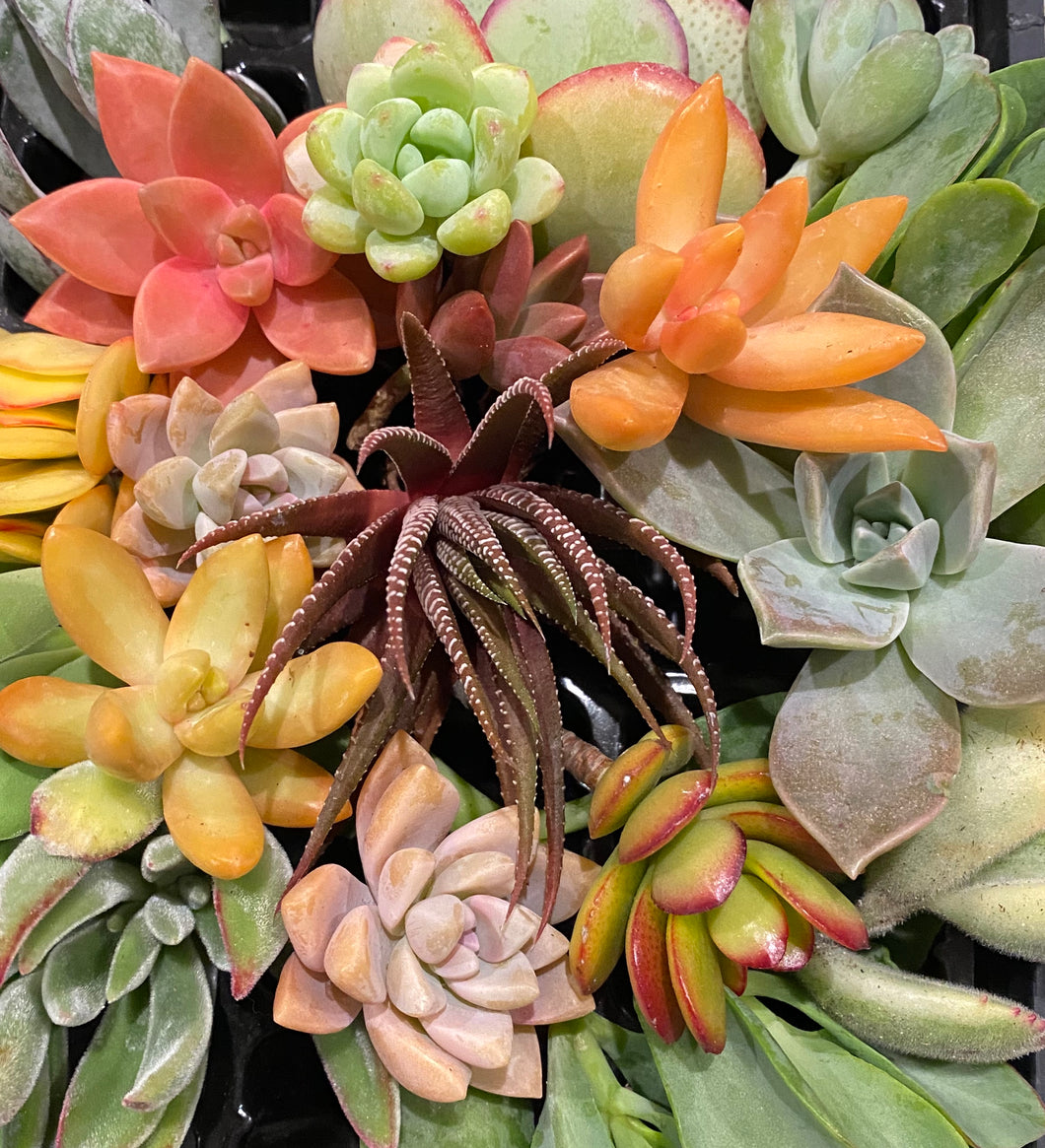 50 Succulent Cuttings Assortment