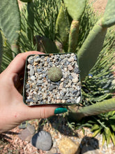 Load image into Gallery viewer, Euphorbia Obesa