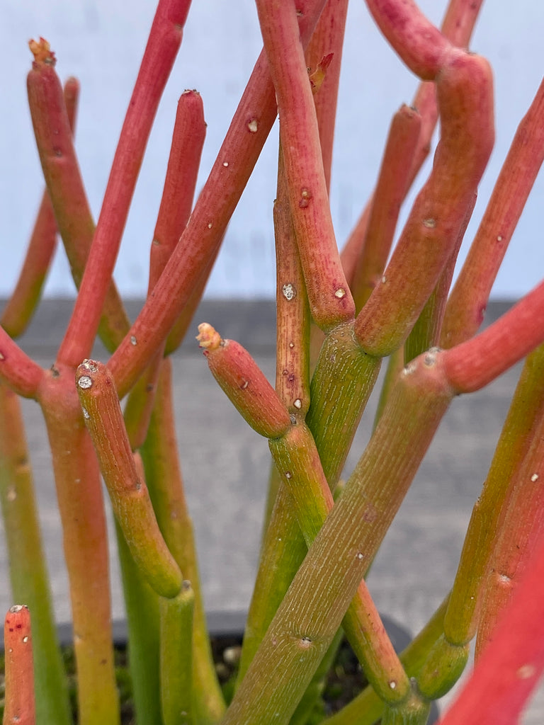 Euphorbia tirucalli ~Sticks of fire