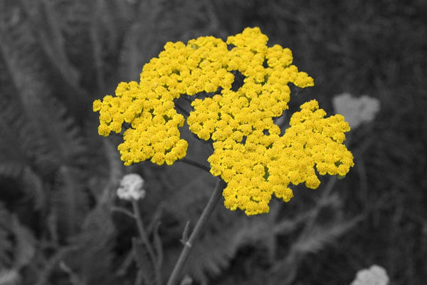 Achillea, or Yellow Yarrow, sports attractive silver-gray foliage and lemon-yellow flat-topped flowers that cover the plant all summer. This California Native perennial has a pleasant fragrance and can be cut and dried for arrangements.   Yellow Yarrow is a must-have perennial for every butterfly garden.