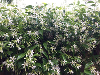 Star Jasmine is a versatile plant. Whether you are looking for ground cover or something to climb a trellis or espalier against a wall or fence, Star Jasmine fits the bill. It also works well as a border plant or hedge and is suited to containers.   Sweet-smelling flowers, versatility, and ease of care make this a great addition to any garden.   Photographer: 305 Seahill