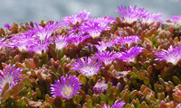 Lampranthus, or Trailing Ice Plant, is a low growing evergreen succulent with narrow gray-green leaves along reddish stems. Lampranthus grows under 1 foot tall and spreads to 2 to 3 feet fairly quickly. The brilliant magenta pink 1 inch wide flowers cover the foliage in spring and often again with a lighter bloom in later summer and fall.  Photo by Mark AC Photos