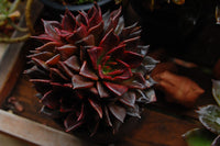 Echeveria 'Black Prince' has deep thick leaves of burgundy to near black. The Black Prince needs bright sunlight to maintain its colors and compact rosette form. In spring and fall, it can send up tall bloom stalks with bright fuchsia to red flowers.  Like most succulents, they need great drainage and infrequent water, which makes them perfect for waterside or xeriscaped yards.   Photo by: salchuiwt