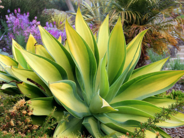 Agave Attenuata Karas Stripes uploaded by Marijke Gummels to https://www.pinterest.co.uk/pin/506936501802307560/?lp=true