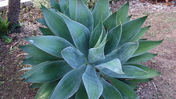 Agave Attenuata Blue Flame