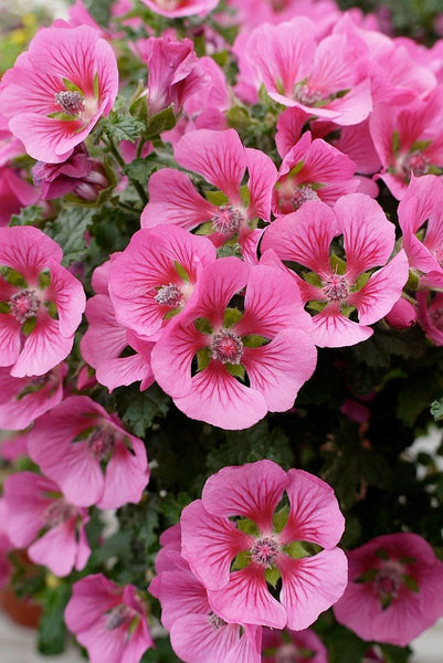 Anisodontea, or Cape Mallow, blooms generously over an extended portion of the year. Cape mallows flower best when planted in a well-lit place. They like light and well-drained soil. Water regularly over the first year.