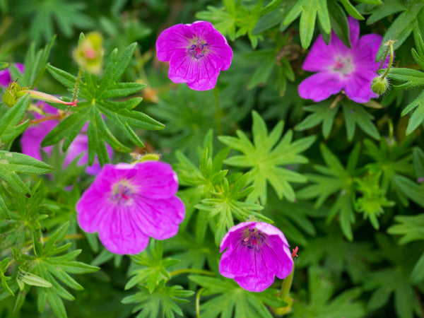 Geranium Cranesbill by F. D. Richards
