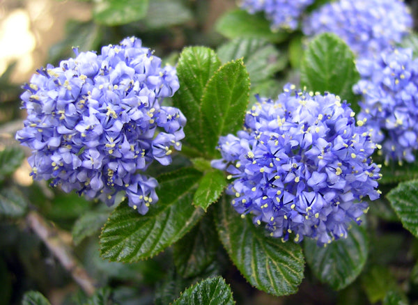 Ceanothus, or California lilac, are evergreen and have small to medium glossy green leaves which accent the bright to light blue flowers. These California natives are drought-tolerant and look great lining a walking path.