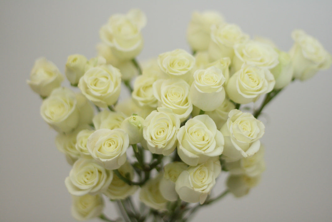 White Spray Rose