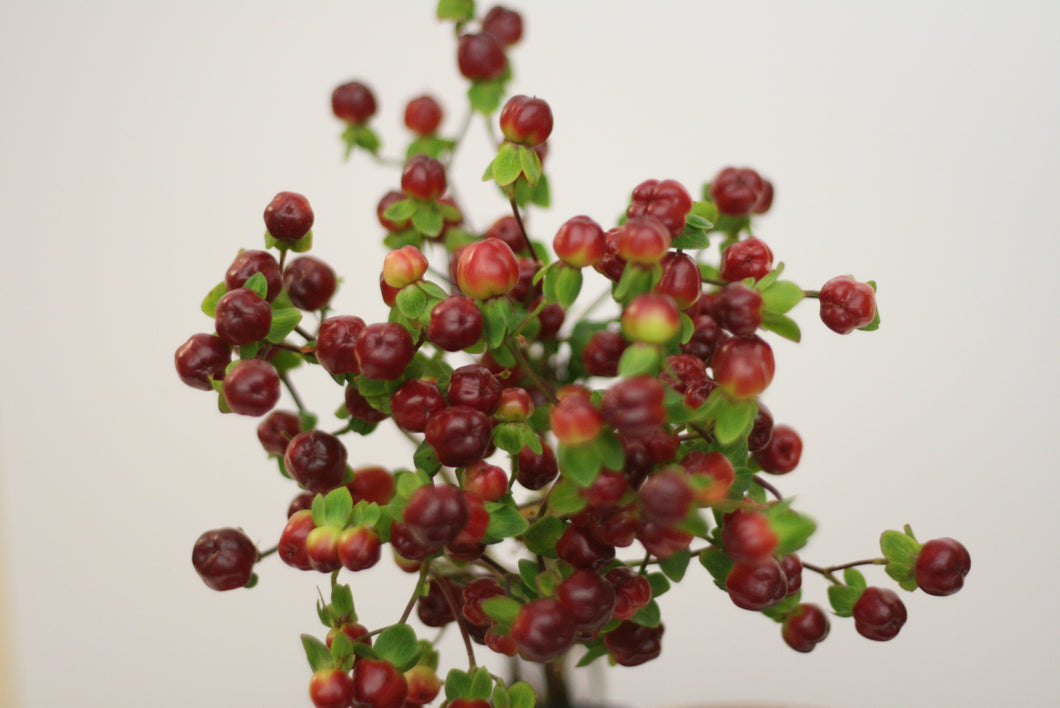 Burgundy Hypericum Berries