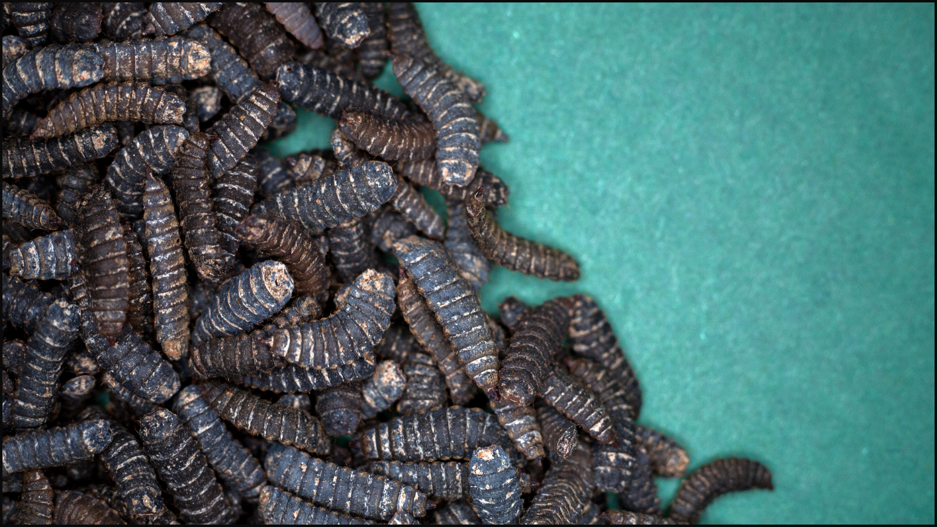 Black Soldier Fly Larvae and Their Importance