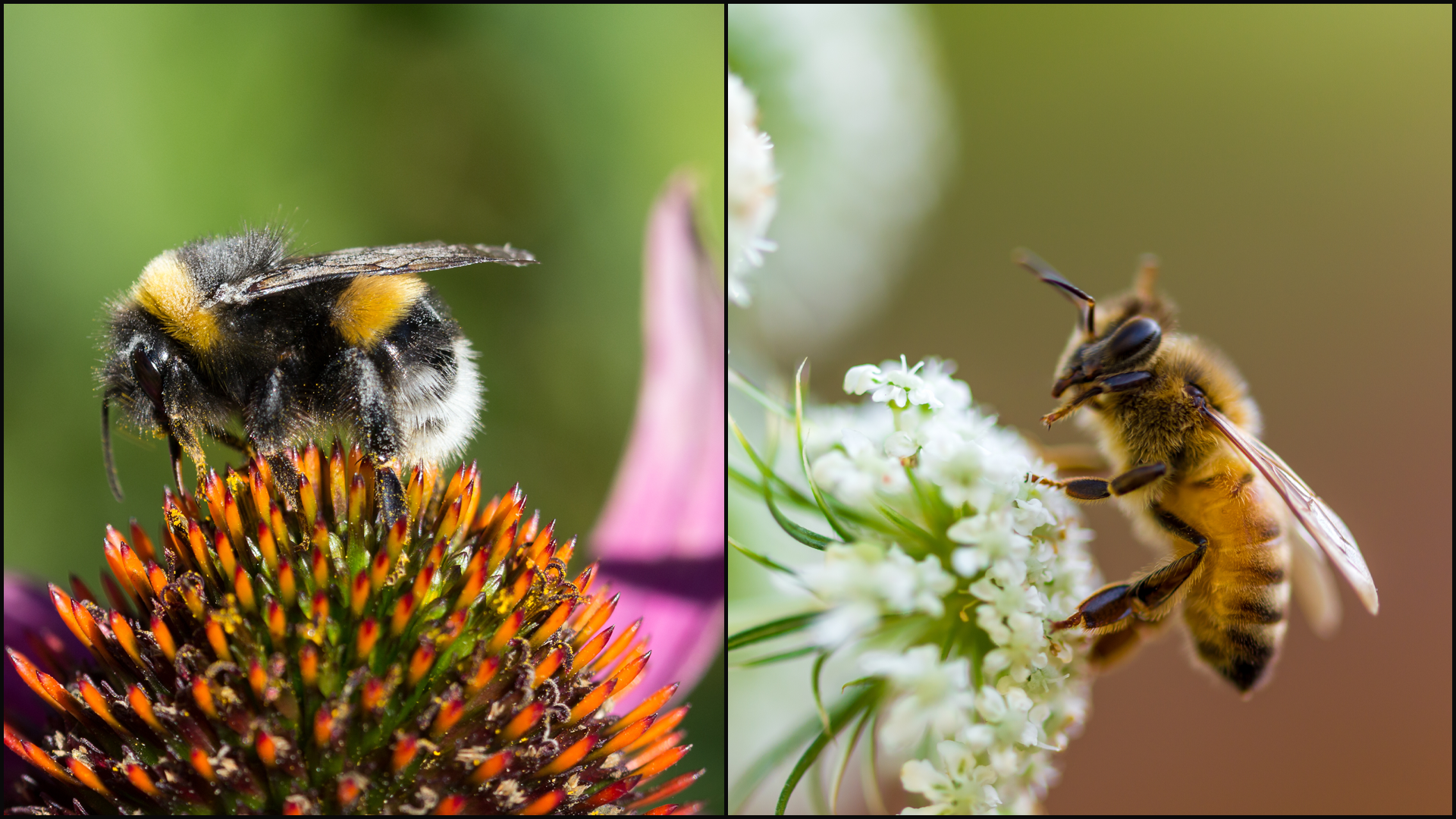 Bumblebees Vs. Honeybees