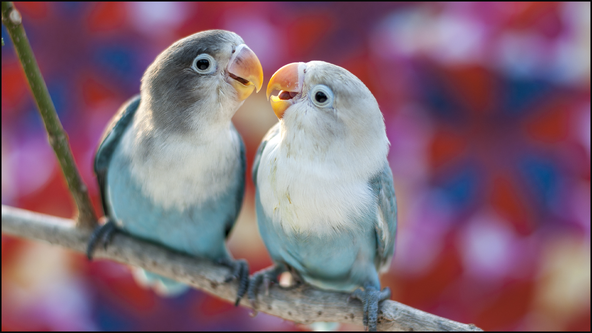 5 Facts You Didn't Know About Love Birds