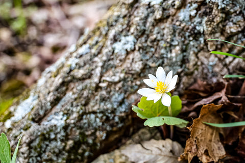 white blooming bloodroot growing in tree crevice along wild hyacinth trail in turkey run park