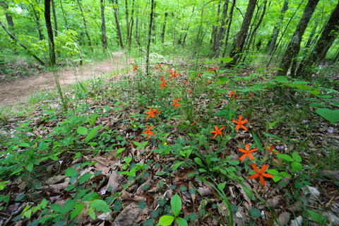 Spring blooming Red catchfly wildflowers in south Cumberland State Park in Tennessee