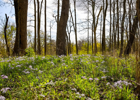 spring blooming woodland meadow along wild hyacinth trail in turkey run park
