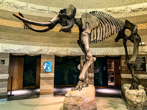 mastadon skeleton in falls of the ohio state park visitors center