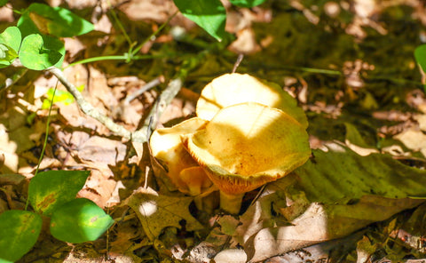 woody chanterelle on silvermine arch in red river gorge