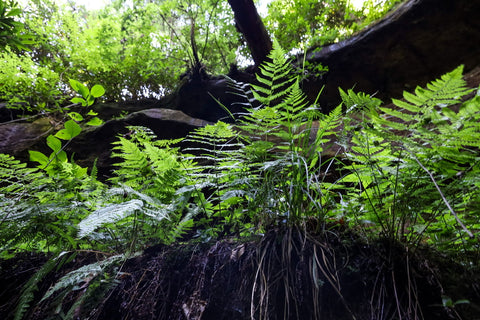 fern growing on cliff edge in silvermine arch red river gorge