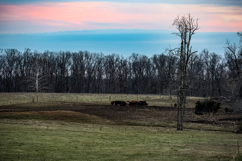 grazing cattle near o'bannon woods state park