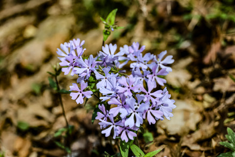 spring blooming woodland phlox along wild hyacinth trail in turkey run park