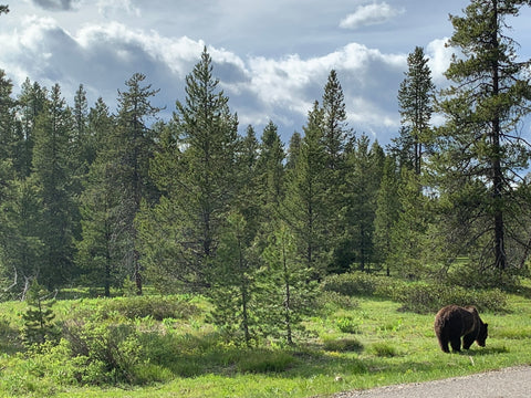 grizzly bear along road in grand teton national park
