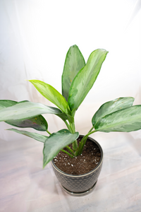 Chinese Evergreen (Silver Bay)